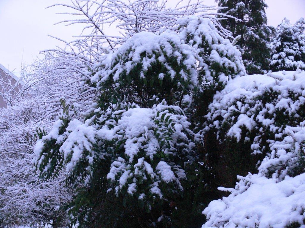 a snowy bush