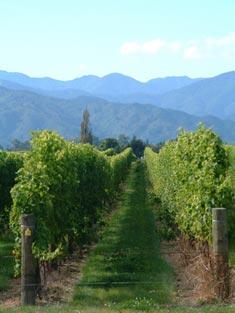 New Zealand Vines